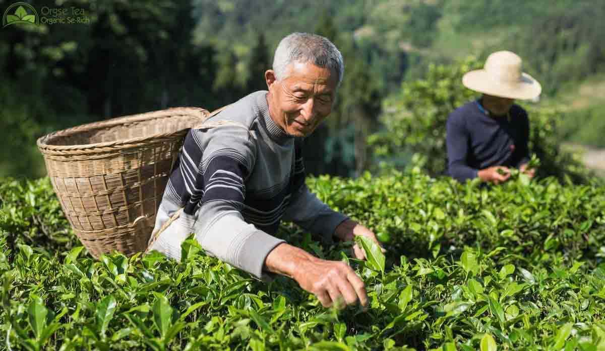 Chinese Tea,Organic Tea,Se-Rich Tea,Tea Exporter,Tea Manufacturer,Broken Tea,Matcha,Chummee,Gunpowder,Silver Needle,EU standard Tea,Pesticide-Free Tea